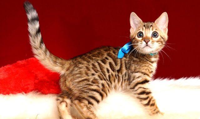 ベンガルの子猫 2018/11/2生まれ 595番ブルー君2