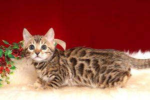 ベンガルの子猫 2018/11/2生まれ 594番ホワイトちゃん1