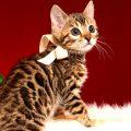 ベンガルの子猫 2018/11/2生まれ 594番ホワイトちゃん3