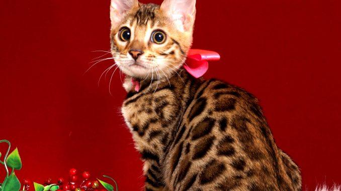 ベンガルの子猫写真 2018/10/8生まれ 573番ピンクちゃん12