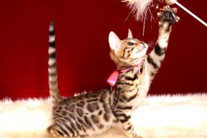 ベンガルの子猫 2018/10/8生まれ 573番ピンクちゃん15
