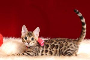 ベンガルの子猫 2018/10/8生まれ 573番ピンクちゃん17