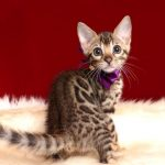 ベンガルの子猫 2018/10/14生まれ 577番パープルちゃん1