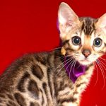 ベンガルの子猫 2018/10/14生まれ 577番パープルちゃん2