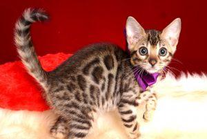 ベンガルの子猫 2018/10/14生まれ 577番パープルちゃん3