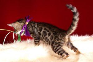 ベンガルの子猫 2018/10/14生まれ 577番パープルちゃん6