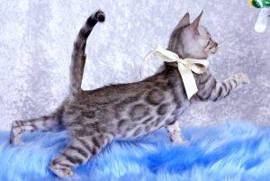 ベンガルの子猫 2018/10/14生まれ 576番ホワイトちゃん4