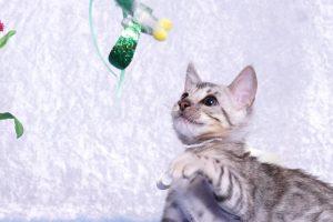 ベンガルの子猫 2018/10/14生まれ 576番ホワイトちゃん5