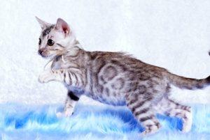 ベンガルの子猫 2018/10/14生まれ 576番ホワイトちゃん6