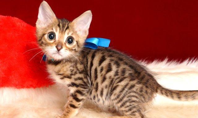 ベンガルの子猫 2018/11/2生まれ 609番ブルー君 オス2