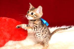 ベンガルの子猫 2018/11/2生まれ 609番ブルー君 オス3