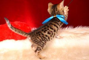 ベンガルの子猫 2018/11/2生まれ 609番ブルー君 オス5