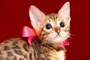 ベンガルの子猫 2018/11/2生まれ 608番ピンクちゃん メス2