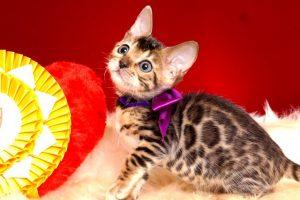 ベンガルの子猫 2018/11/18生まれ 599番パープルちゃん メス3