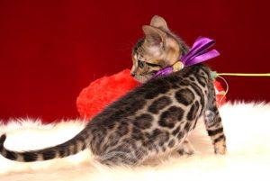 ベンガルの子猫 2018/11/18生まれ 599番パープルちゃん メス6