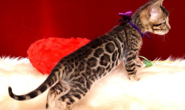 ベンガルの子猫 2018/11/18生まれ 599番パープルちゃん メス7