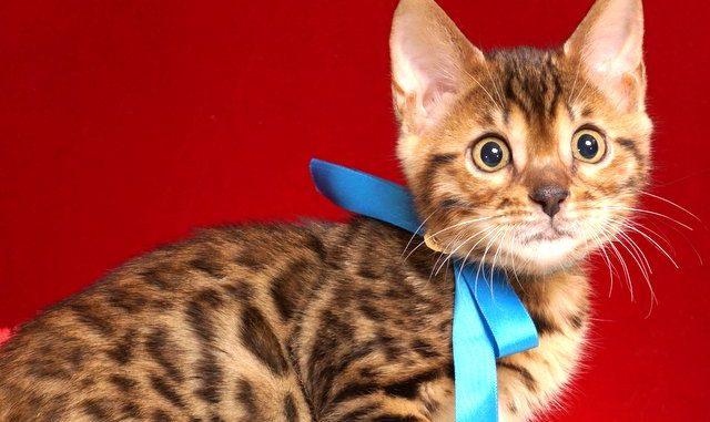 ベンガルの子猫 2018/11/20生まれ 605番ブルー君 オス2