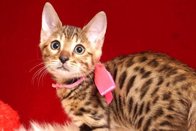 ベンガルの子猫 2018/11/20生まれ 603番ピンクちゃん メス22