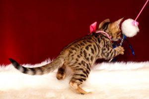 ベンガルの子猫 2018/11/20生まれ 603番ピンクちゃん メス5