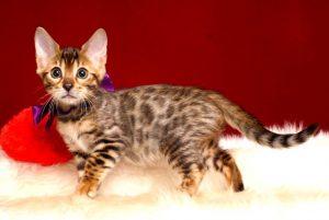 ベンガルの子猫 2018/11/20生まれ 602番パープルちゃん メス1