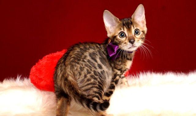 ベンガルの子猫 2018/11/20生まれ 602番パープルちゃん メス2