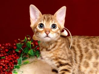 ベンガルの子猫 2018/11/21生まれ 607番ホワイトちゃん1