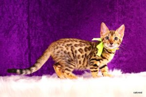 ベンガルの子猫 2016年6月24日生まれ 250番イエローちゃん
