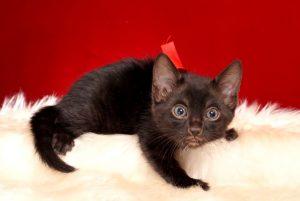 ベンガルの子猫 2018/12/14生まれ 618番レッド君 メス1