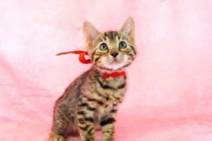 ベンガルの子猫157番あかちゃん