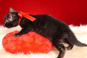 ベンガルの子猫 2018/12/14生まれ 618番レッド君 メス2