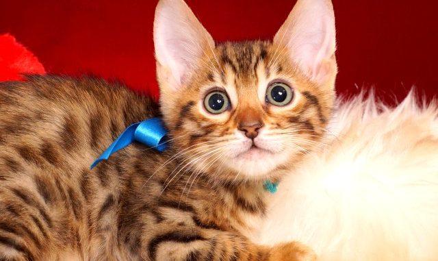 ベンガルの子猫 2018/12/3生まれ 617番ブルー君1