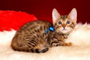 ベンガルの子猫 2018/12/3生まれ 617番ブルー君2