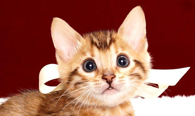 ベンガルの子猫2017年11月19日生まれ 436番しろちゃん