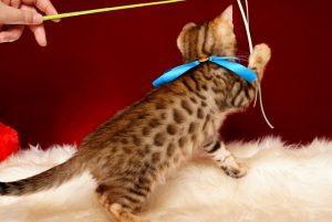 ベンガルの子猫 2018/12/3生まれ 617番ブルー君5