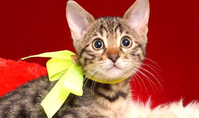 ベンガルの子猫 2018/12/3生まれ 615番イエローちゃん メス1