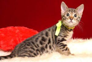 ベンガルの子猫 2018/12/3生まれ 615番イエローちゃん メス2