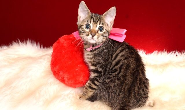 ベンガルの子猫 2018/12/3生まれ 614番ピンクちゃん メス3