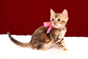 ベンガルの子猫2017年11月19日生まれ 437番ももちゃん