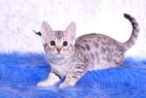 ベンガルの子猫 2018/12/3生まれ 616番グリーン君 オス1