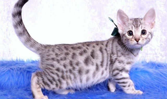 ベンガルの子猫 2018/12/3生まれ 616番グリーン君 オス2
