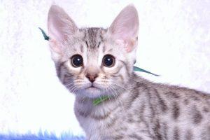 ベンガルの子猫 2018/12/3生まれ 616番グリーン君 オス3