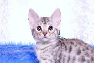 ベンガルの子猫 2018/12/3生まれ 616番グリーン君 オス4