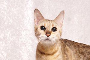 ベンガルの成猫ウ1