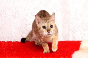 ベンガルの成猫ウ2