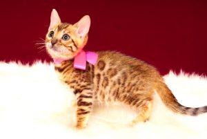 ベンガルの子猫 2017年3月3日生まれ 328番ピンクちゃん