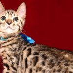 ベンガルの子猫 2018/11/24生まれ 622番ブルー君 オス3