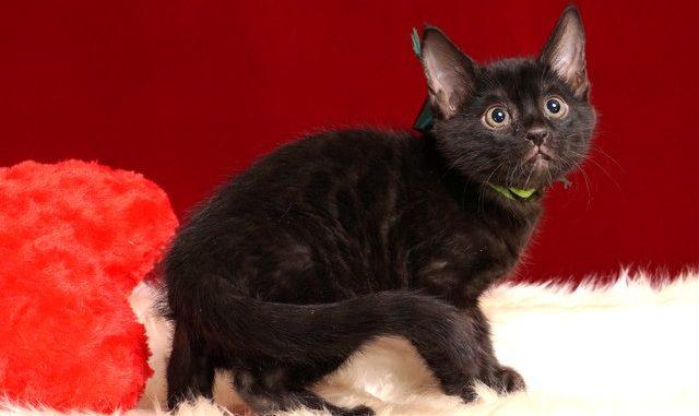 ベンガルの子猫 2018/12/22生まれ 627番グリーン君 オス3