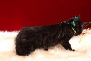 ベンガルの子猫 2018/12/22生まれ 627番グリーン君 オス6