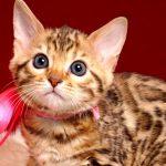 ベンガルの子猫 2018/12/22生まれ 629番ピンクちゃん メス1