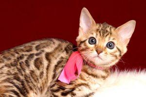 ベンガルの子猫 2018/12/22生まれ 629番ピンクちゃん メス3